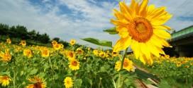Những cánh đồng hoa hướng dương xinh đẹp ở Hàn Quốc