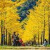 Mùa cây ngân hạnh nhuộm vàng Hàn Quốc